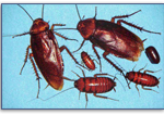 American-Roach-Or-Water-Bug-Pest-Control