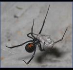 Black-Widow-Spider-Pest-Control