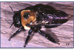 Carpenter-Bee-Pest-Control