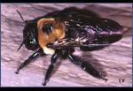 Carpenter-Bee-Pest-Control