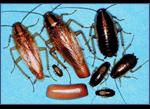 German-Roach-Pest-Control