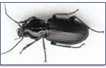 Ground-Beetles-Pest-Control
