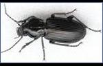 Ground-Beetles-Pest-Control