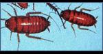 Oriental-Roach-Pest-Control