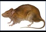 Rats-Pest-Control
